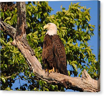 Eagle On Roosting Branch II Canvas Print
