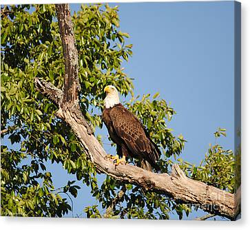 Eagle On Roosting Branch Canvas Print