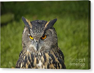 Eagle Owl Canvas Print by Clare Bambers
