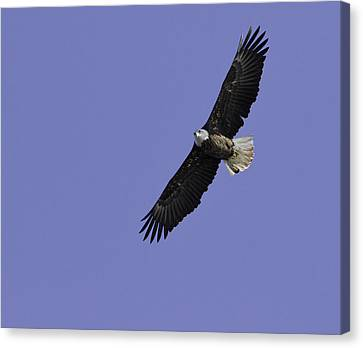 Eagle Soaring In The Sky Canvas Print by Thomas Young