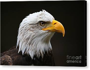 Bald Eagle Profile Canvas Print