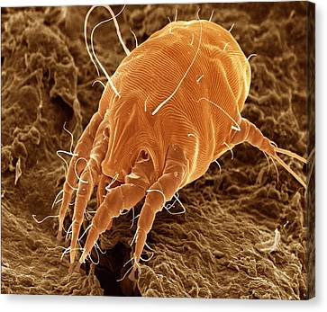 Ear Mite (otodectes Cynotis). Canvas Print by Power And Syred