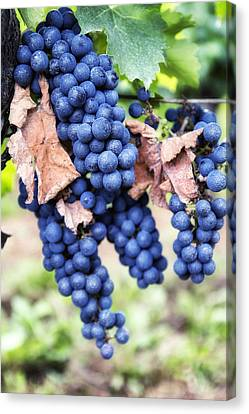 Early Autumn Grapes Canvas Print by Georgia Fowler