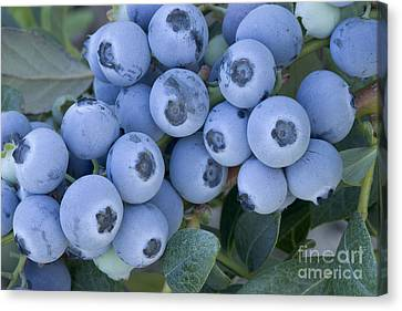 Magnoliopsida Canvas Print - Early Blue Blueberries by Inga Spence