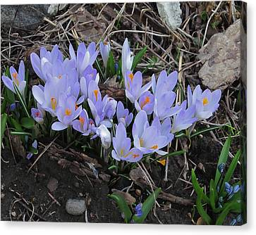 Early Crocuses Canvas Print by Donald S Hall