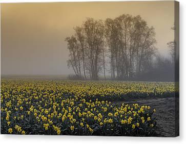 Early Morning Daffodil Fog Canvas Print