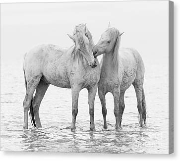 Early Morning Horse Play Canvas Print by Carol Walker