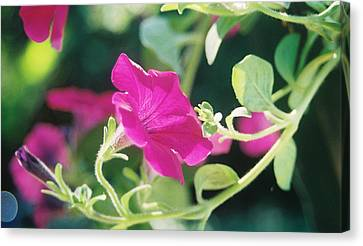 Canvas Print featuring the photograph Early Morning Petunias by Alan Lakin