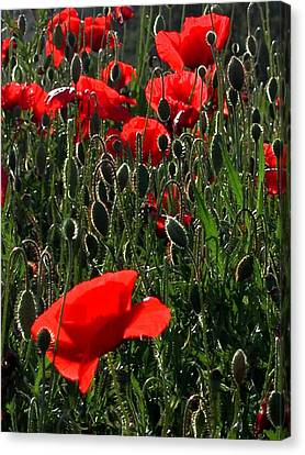 Early Morning Poppies Canvas Print by Dorothy Berry-Lound