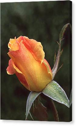 Early Morning Rosebud Canvas Print