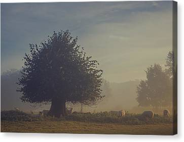 Early Morning Sheep Meet Canvas Print by Chris Fletcher