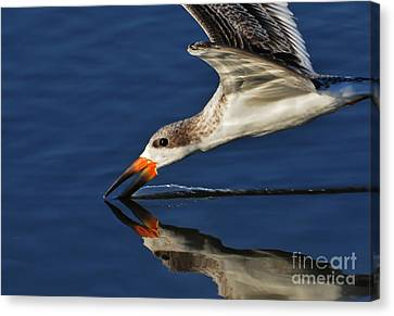 Canvas Print featuring the photograph Early Morning Skimmer by Kathy Baccari