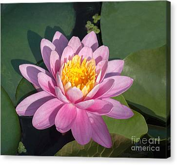 Early Morning Water Lily Canvas Print