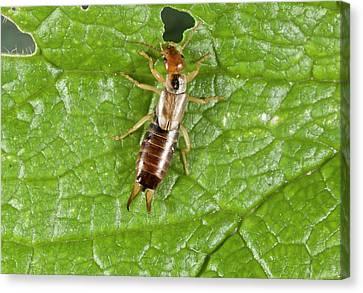 Eating Entomology Canvas Print - Earwig On Leaf by Bob Gibbons