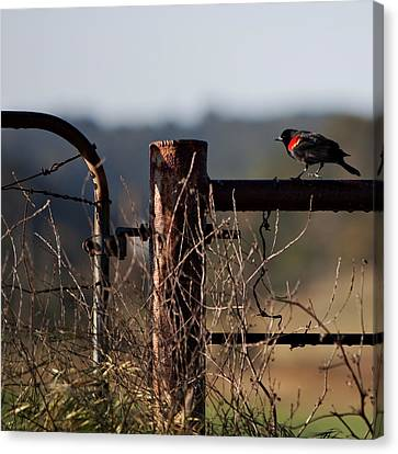 Eary Morning Blackbird Canvas Print by Art Block Collections