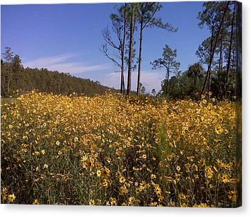 East Coast Dune Sunflowers Canvas Print