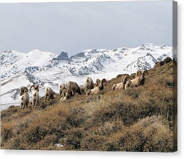 East Humboldt Rams Canvas Print