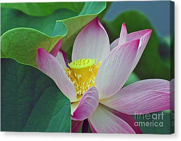 East Indian Lotus Canvas Print