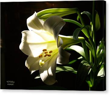 Easter Lilly Canvas Print