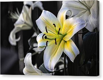 Canvas Print featuring the photograph Easter Lily On Black by Dave Garner