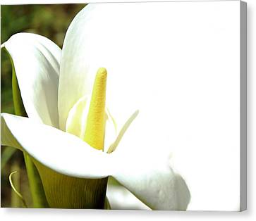 Easter Lily Canvas Print by Pamela Patch