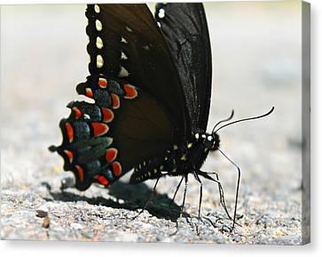 Eastern Black Swallowtail Canvas Print by Candice Trimble