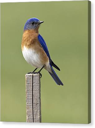 Eastern Bluebird Canvas Print by David Lester