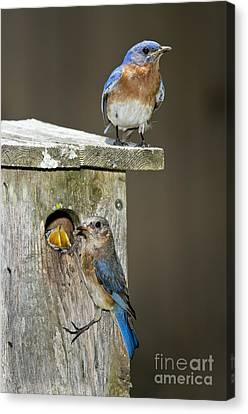 Eastern Bluebird Family Canvas Print by Anthony Mercieca