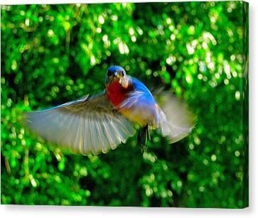 Eastern Bluebird In Flight Canvas Print by Cindy Croal