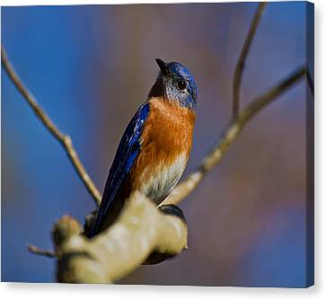 Canvas Print featuring the photograph Eastern Bluebird by Robert L Jackson