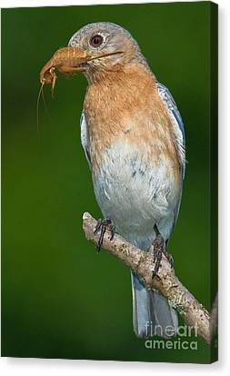 Canvas Print featuring the photograph Eastern Bluebird With Katydid by Jerry Fornarotto