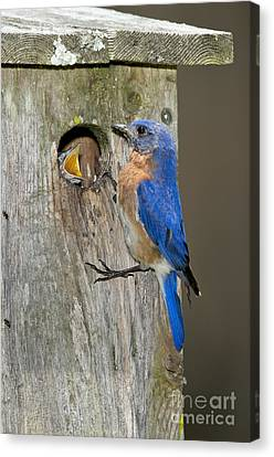 Eastern Bluebirds Canvas Print by Anthony Mercieca