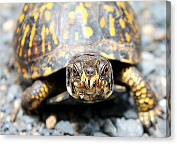 Eastern Box Turtle Canvas Print by Candice Trimble