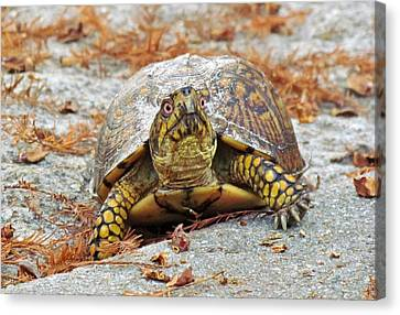 Canvas Print featuring the photograph Eastern Box Turtle by Cynthia Guinn