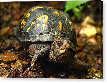 Eastern Box Turtle Canvas Print by Michael Eingle