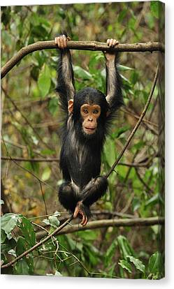 Eastern Chimpanzee Baby Hanging Canvas Print by Thomas Marent