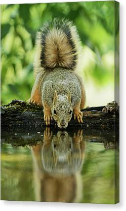 Eastern Fox Squirrel (sciurus Niger Canvas Print