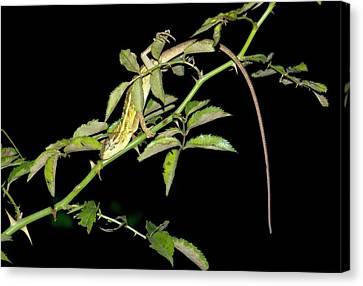 Eastern Garden Lizard Roosting Canvas Print by K Jayaram