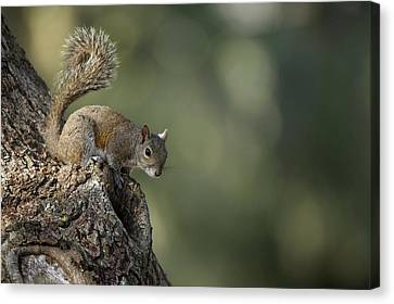Eastern Gray Squirrel, Or Grey Squirrel Canvas Print by Pete Oxford