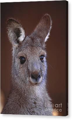 Eastern Grey Kangaroo Canvas Print by Art Wolfe