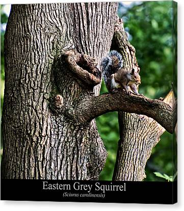Eastern Grey Squirrel Canvas Print by Chris Flees