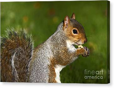 Eastern Grey Squirrel Canvas Print by Craig B