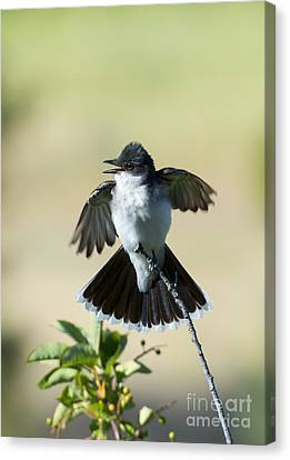 Eastern Kingbird Display Canvas Print