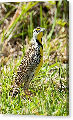 Meadowlark Canvas Print - Eastern Meadowlark by Anthony Mercieca