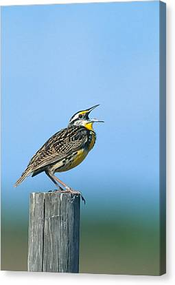 Meadowlark Canvas Print - Eastern Meadowlark by Paul J. Fusco