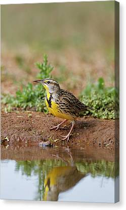 Meadowlark Canvas Print - Eastern Meadowlark (sturnella Magna by Larry Ditto