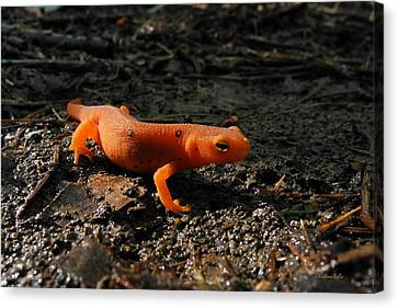 Newts Canvas Print - Eastern Newt Red Eft by Christina Rollo