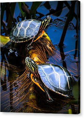 Eastern Painted Turtles Canvas Print by Bob Orsillo