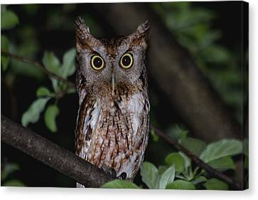 Eastern Screech-owl Canvas Print by Aaron J Groen