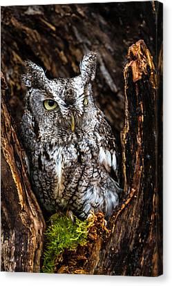 Eastern Screech Owl Canvas Print by Craig Brown